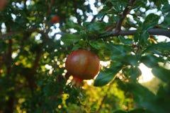 Очень вкусный плодоовощ гранатового дерева Стоковая Фотография RF