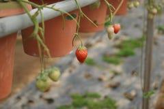 Очень вкусный плодоовощ клубники Стоковые Изображения RF