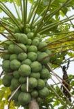 Очень дерево вполне зеленой папапайи стоковые фото