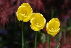 Очень зацветая и цветя трио желтых тюльпанов Стоковые Изображения