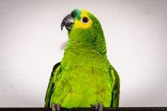 Очень зеленый попугай стоковое изображение rf
