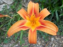 Очень красивая лилия Стоковые Фотографии RF