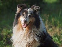 Очень красивая собака - Sheltie Стоковое Изображение RF