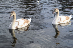 Очень красивое заплывание лебедя 2 Стоковые Фото
