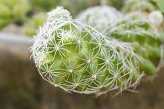 Очень красивый зеленый и белый кактус стоковое фото rf