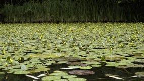 Очень красивый пруд с unblown желтыми лилиями акции видеоматериалы