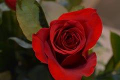 Очень красные розы стоковое фото