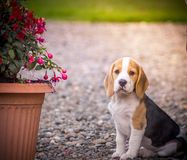 Очень милый щенок суки гончей бигля Стоковая Фотография RF