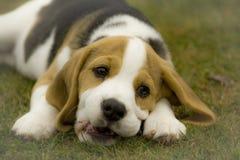 Очень милый щенок суки гончей бигля Стоковая Фотография