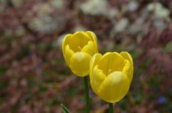 Очень милые пары цвести желтые цветения тюльпана Стоковая Фотография RF