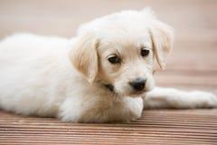 Очень молодая белая часть тела щенка золотого retriever стоковые фотографии rf