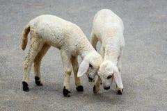 2 очень молодых белых овечки Стоковые Фотографии RF