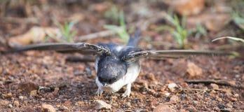 Очень молодая ласточка амбара сидя на том основании учить лететь Стоковое Фото