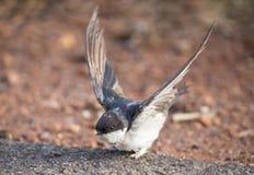 Очень молодая ласточка амбара сидя на том основании учить лететь Стоковые Изображения