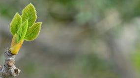 Очень молодые листья Стоковые Изображения
