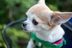 Очень мягкая собака чихуахуа фокуса стоковое фото