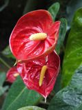 Очень необыкновенные интересные чашевидные красные лепестки цветка С желтым всходом в средних и больших зеленых листьях вниз Стоковая Фотография