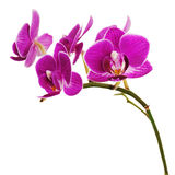 Очень редкая фиолетовая орхидея изолированная на белой предпосылке. стоковое изображение