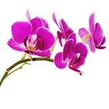 Очень редкая фиолетовая орхидея изолированная на белой предпосылке. Стоковое фото RF