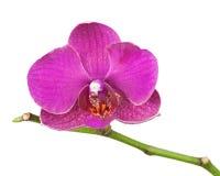 Очень редкая фиолетовая орхидея изолированная на белой предпосылке Стоковое Изображение RF