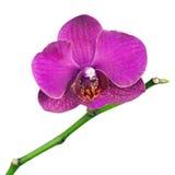 Очень редкая фиолетовая орхидея изолированная на белой предпосылке стоковые изображения