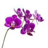 Очень редкая фиолетовая орхидея изолированная на белой предпосылке стоковая фотография rf