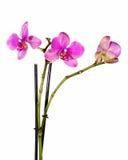 Очень редкая фиолетовая орхидея изолированная на белой предпосылке стоковое фото