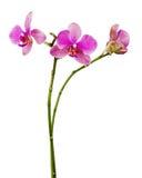 Очень редкая фиолетовая орхидея изолированная на белой предпосылке Стоковое Изображение