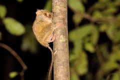 Очень редкое спектральное Tarsier, спектр Tarsius, национальный парк Tangkoko, Сулавеси, Индонезия Стоковые Фотографии RF