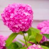 Очень свободный промах Показные цветки летом Розовое цветене гортензии полностью Цвести цветки в саде лета стоковое фото