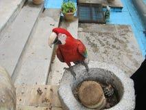 Очень сердитый попугай Стоковое Изображение