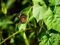 Очень славная striped красочная бабочка показывая ее красивое крыло Стоковое Изображение RF