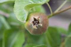 Очень славные груши на дереве в моем саде Стоковая Фотография
