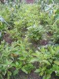 Очень славные заводы brinjal в сельских районах стоковое изображение rf