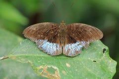 Очень сладостная бабочка Стоковое Изображение RF