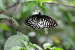 Очень сладостная бабочка Стоковые Фотографии RF