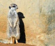 Очень смешное поместье Meerkat сидит в расчистке на зоопарке и ярких голубом небе и деревьях как расплывчатое bokeh Стоковое Фото