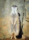 Очень смешное поместье Meerkat сидит в расчистке на зоопарке и ярких голубом небе и деревьях как расплывчатое bokeh Стоковое Изображение