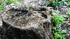 Очень старый сиротливый пень в парке стоковое изображение rf
