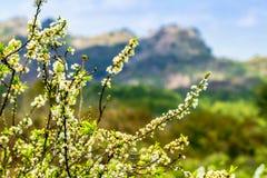 Очень славная ветвь сливы на горе Стоковая Фотография RF
