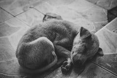Очень унылая собака Унылый терьер границы ухищренная собака Собака больна и скучает по его предпринимателю Терьеру нужно уравнове Стоковое Изображение RF