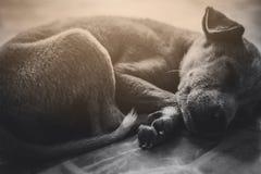 Очень унылая собака Унылый терьер границы ухищренная собака Собака больна и скучает по его предпринимателю Терьеру нужно уравнове Стоковое Фото