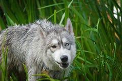 Очень хорошая собака крест между лайкой и волком Стоковые Изображения RF