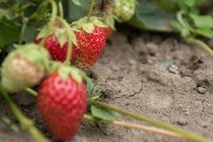 Очень хороший сбор клубники Самая вкусная и самая сладостная ягода Стоковое Изображение