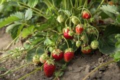 Очень хороший сбор клубники Самая вкусная и самая сладостная ягода Стоковые Изображения RF