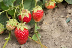 Очень хороший сбор клубники Самая вкусная и самая сладостная ягода Стоковое Изображение RF