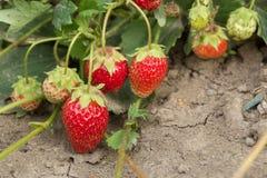 Очень хороший сбор клубники Самая вкусная и самая сладостная ягода Стоковая Фотография