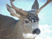 Очень холодный самец оленя ища еда и женская потеха в дворе Стоковая Фотография RF