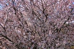Очень цветя дерево Стоковые Изображения