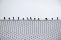 Очередь голубя или голубя группы/стада Стоковые Изображения
